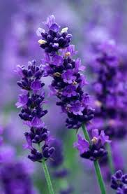 Attract Bees to your Garden | Lavender
