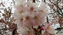 Körsbärsblommor nära 2