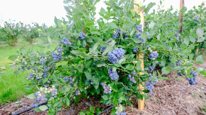 Blueberry Draper