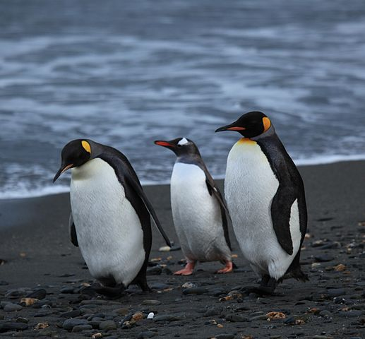 517px-Penguins_walking_-Moltke_Harbour,_South_Georgia,_British_overseas_territory,_UK-8