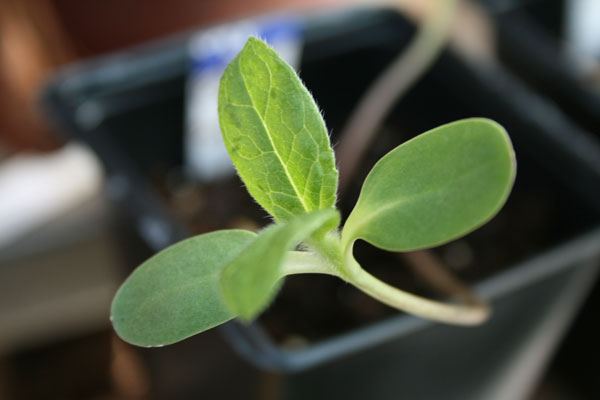 sunflower seedling