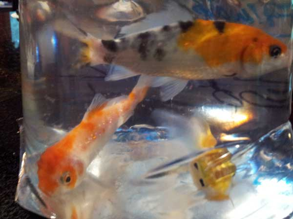 koi fish babies