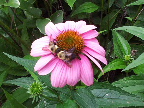 Bumble-bees-kissing-on-a-coneflower