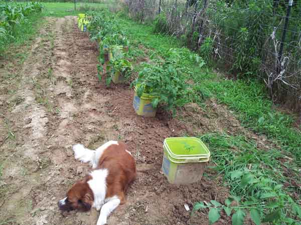 Zoey the dog laying next to the tomatoes