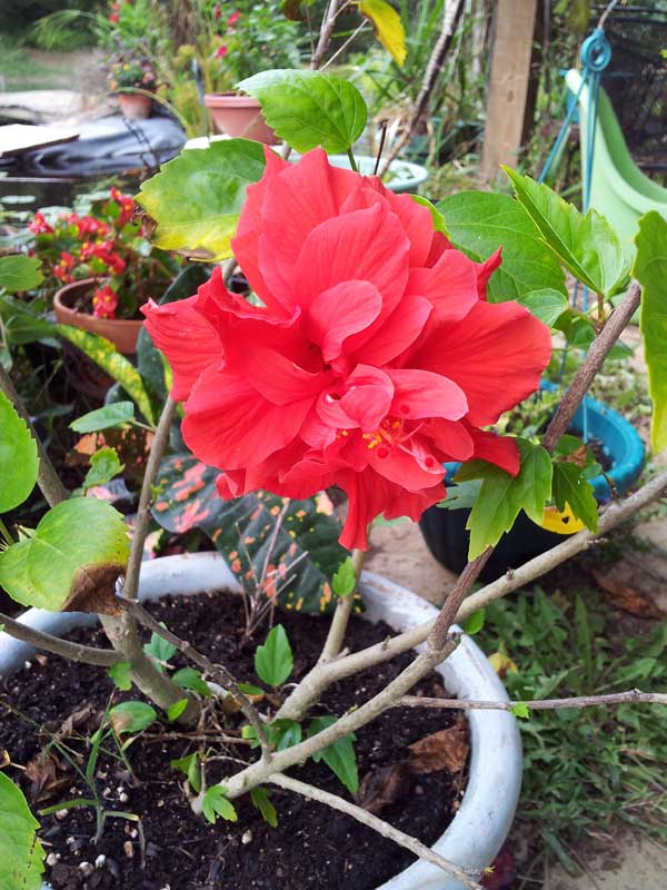 Red Hibiscus Double Flower