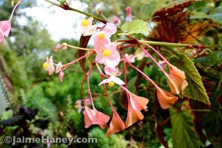 Hardy Begonia 2