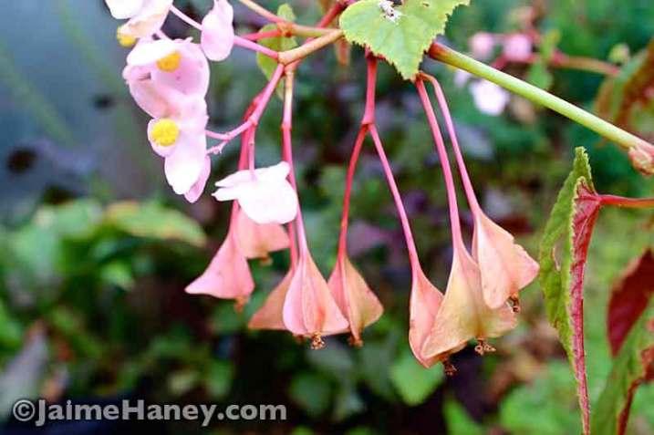 Hardy Begonia 3