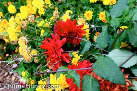 yellow mums and red dalhias