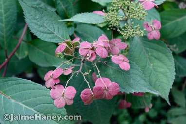 lacecap hydrangea - 'Lady in Red'