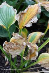 withering hosta 'Liberty'