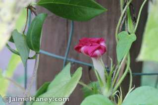 closed up morning glory