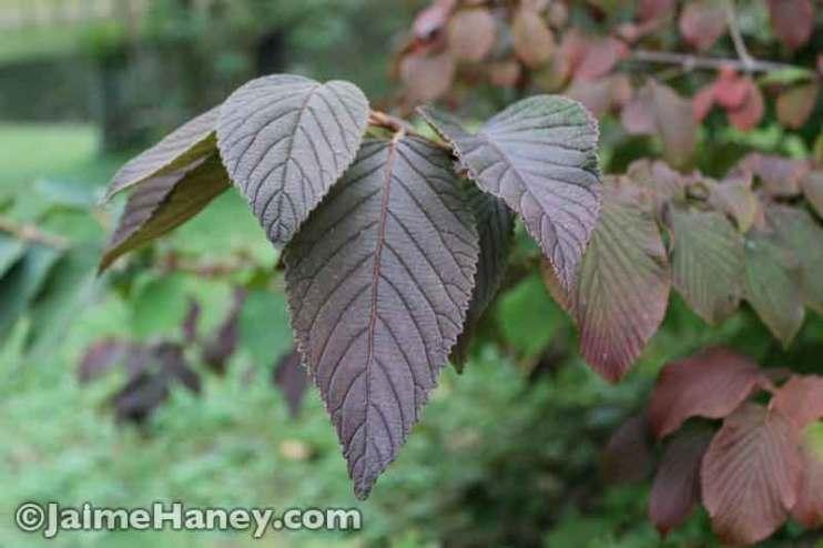 reddening viburnum bush