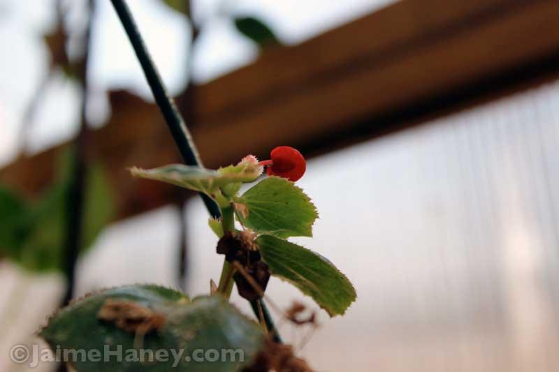 Begonia flower bud