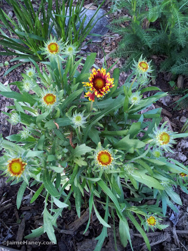 red and yellow Gaillardia (Blanket flower) 2 mid-spring