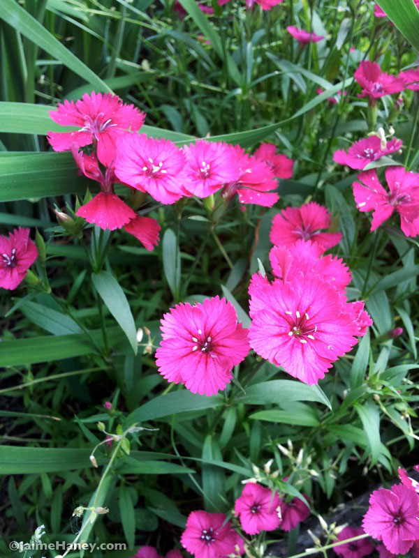 dianthus pink flowers