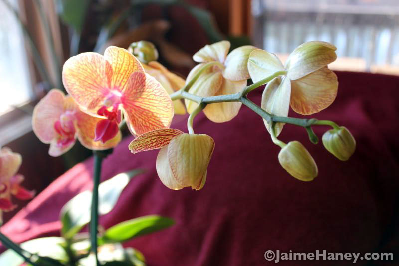 orchid houseplant