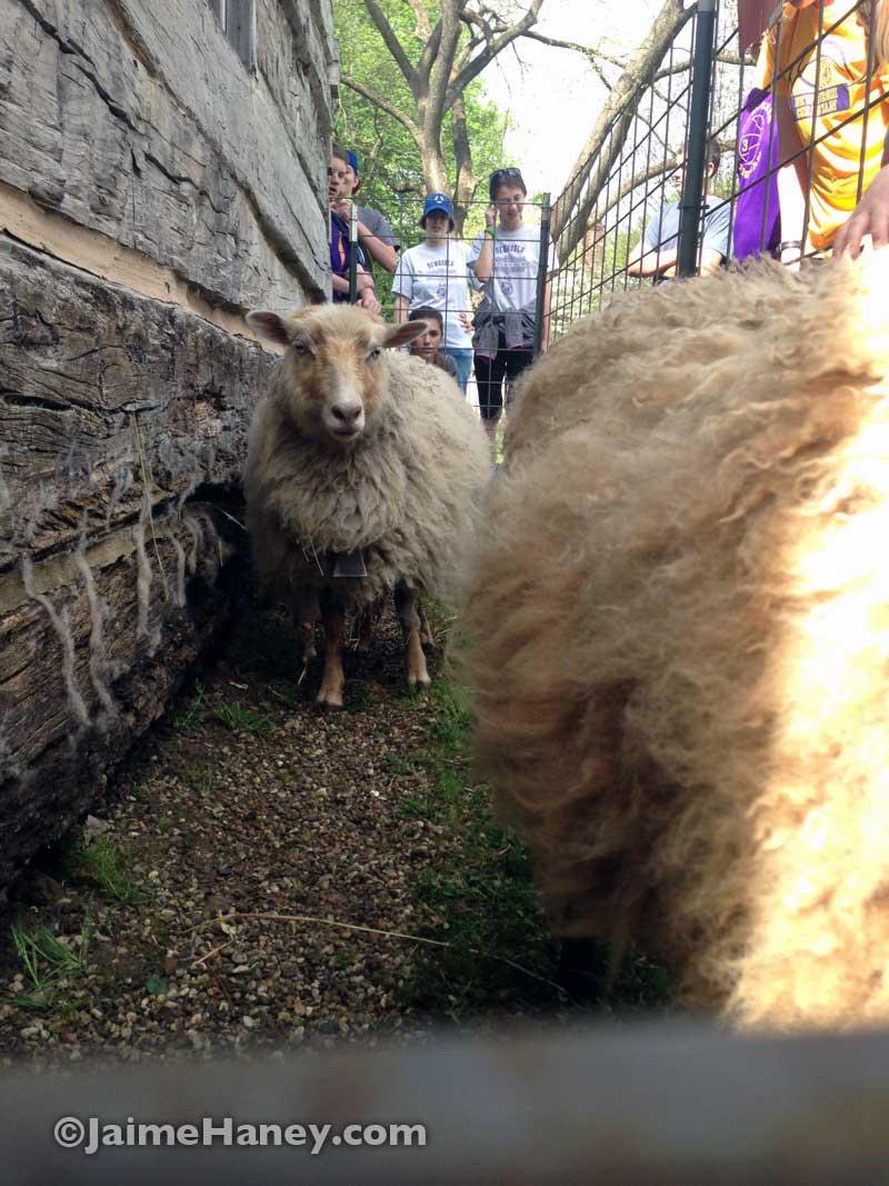 Sheep for shearing