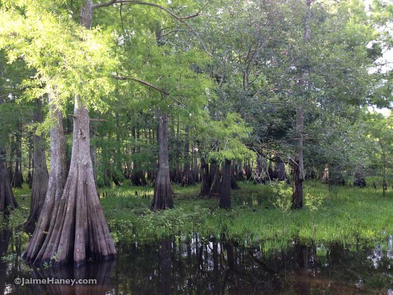 beautiful swamp trees