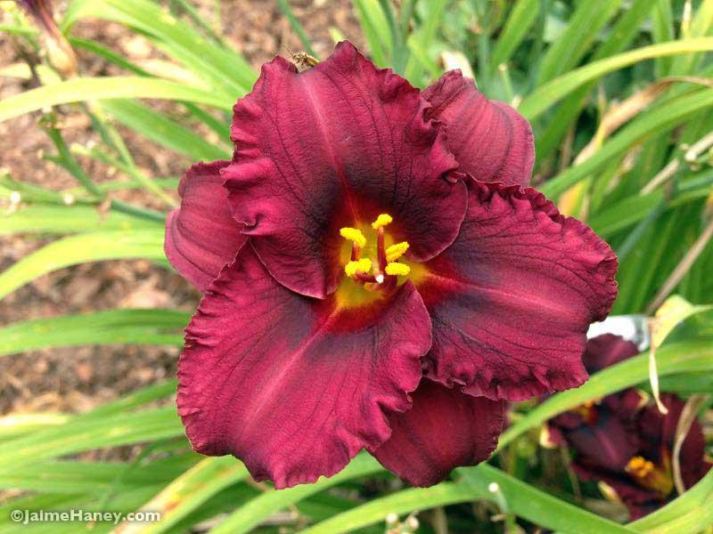 dark burgundy daylily bloom Indy Rhapsody