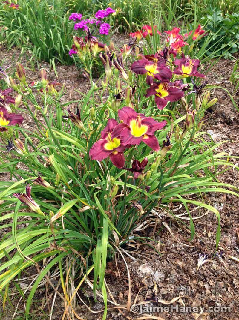 purple daylilies
