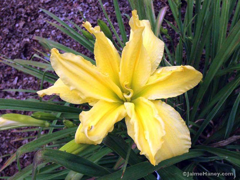 yellow daylily bloom