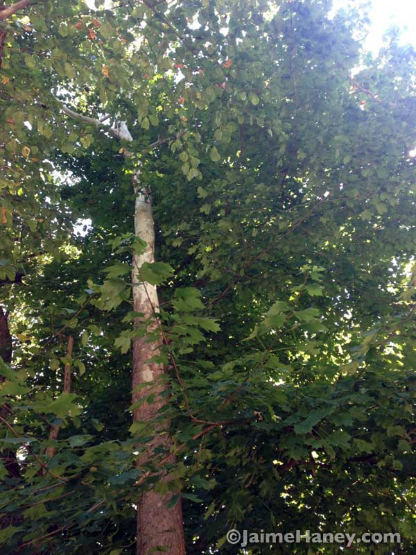 giant sycamore tree