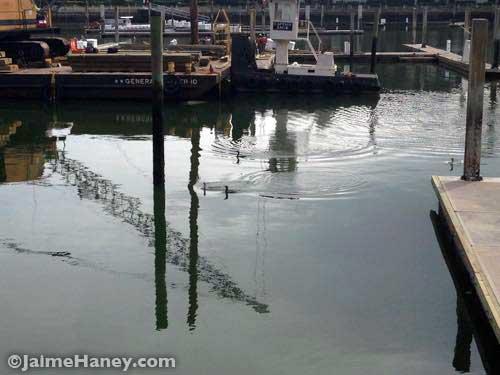 Cormorants (birds) swimming in the harbor.