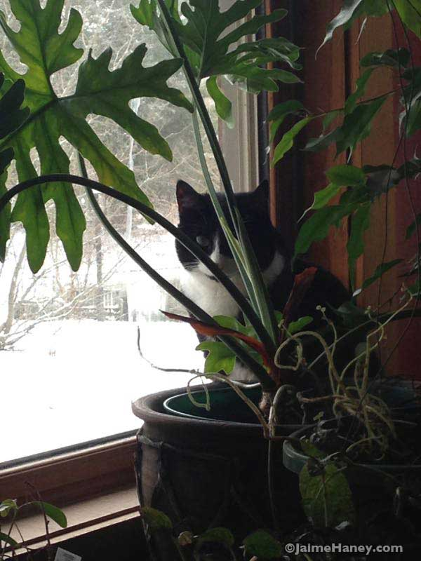 Mocee a tuxedo cat sitting in the window watching the birds eat