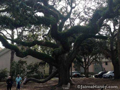 Very old Live Oak Tree