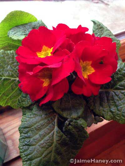 red primrose houseplant