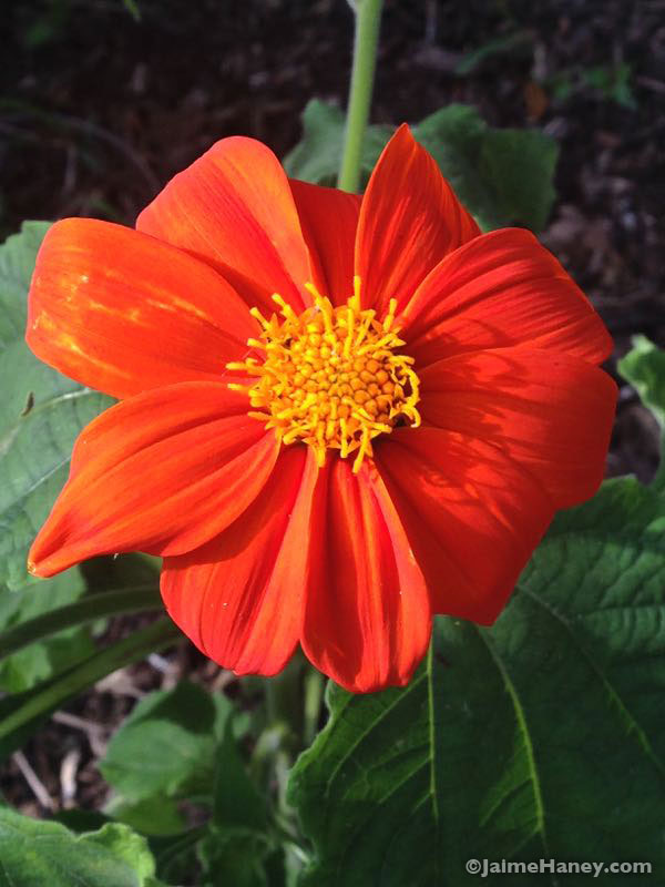 orange flower of tithonia Mexican Sunflower