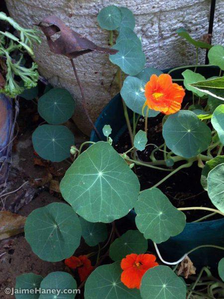 Orange nasturtiums with rusty bird garden art
