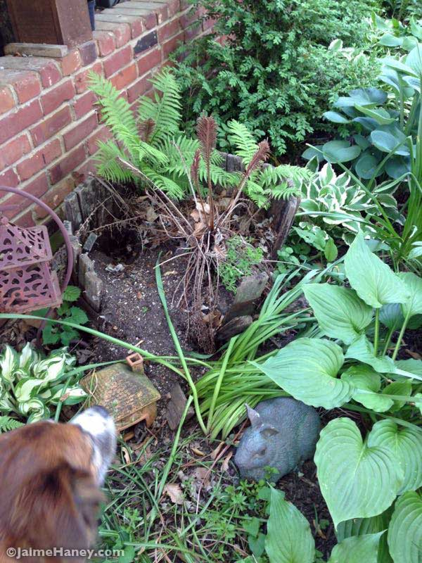 Before photo with rotted away whiskey half barrel planter