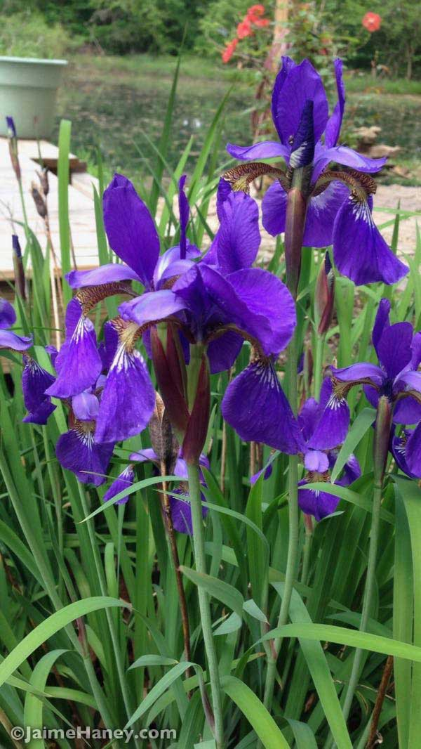 Siberian irises in full bloom