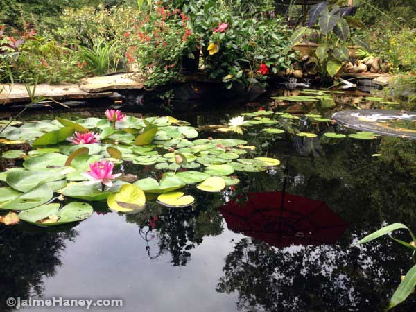 Waterlily and koi pond