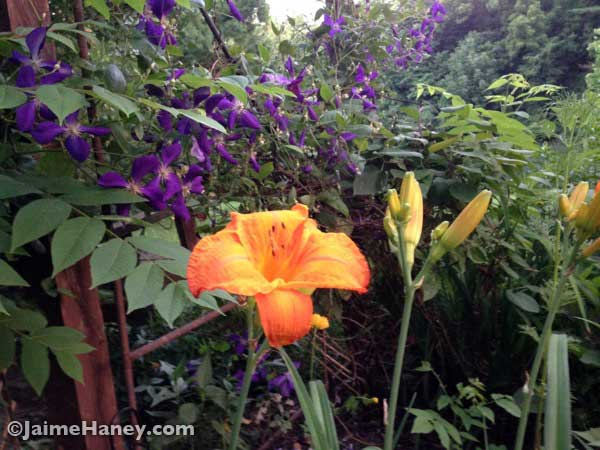 Purple clematis and orange day lilies blooming together in my swing garden.