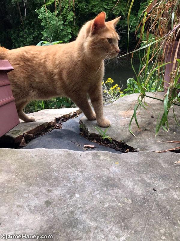 Orange kitty afraid of the koi fish