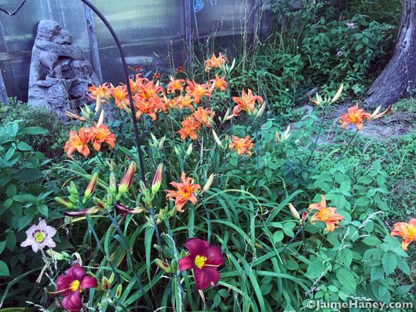 Abundant orange daylilies along side of greenhouse