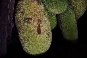 L'île de Camiguin - Philippines - Jackfruit