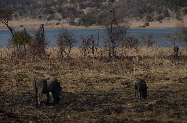 Le Pilanesberg et le Marakele - Afrique du Sud - Tour du monde - Jaiuneouverture