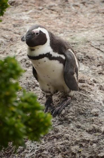Les pingouins de Boulders Beach - Afrique du Sud - Tour du Monde - Jaiuneouverture