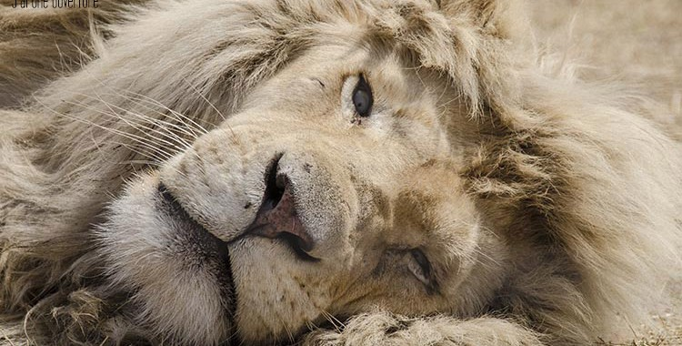 Sauvage-en-cage-Lion-Blanc-Afrique-du-Sud-3