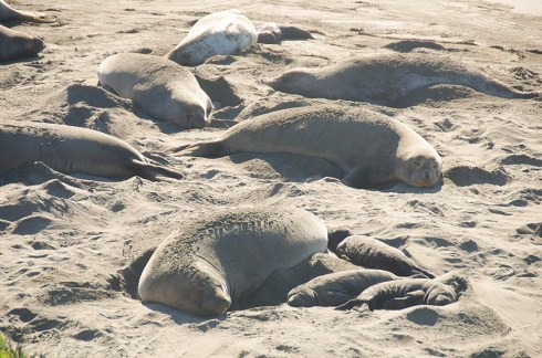 Elephants de mer sur la route du Big Sur (1)