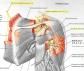 Suprascapular nerve