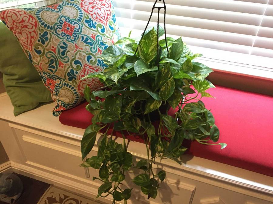 Golden pothos