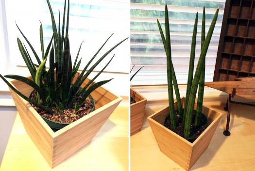 Unknown sansevieria and sansevieria cylindrica