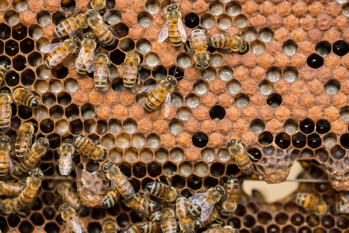 Honey bees produce fresh honey for UCASA farmers in El Sauce Municipality, Léon Department, Nicaragua. UCASA - Nicaragua. January 30, 2017. Photo by Jake Lyell.