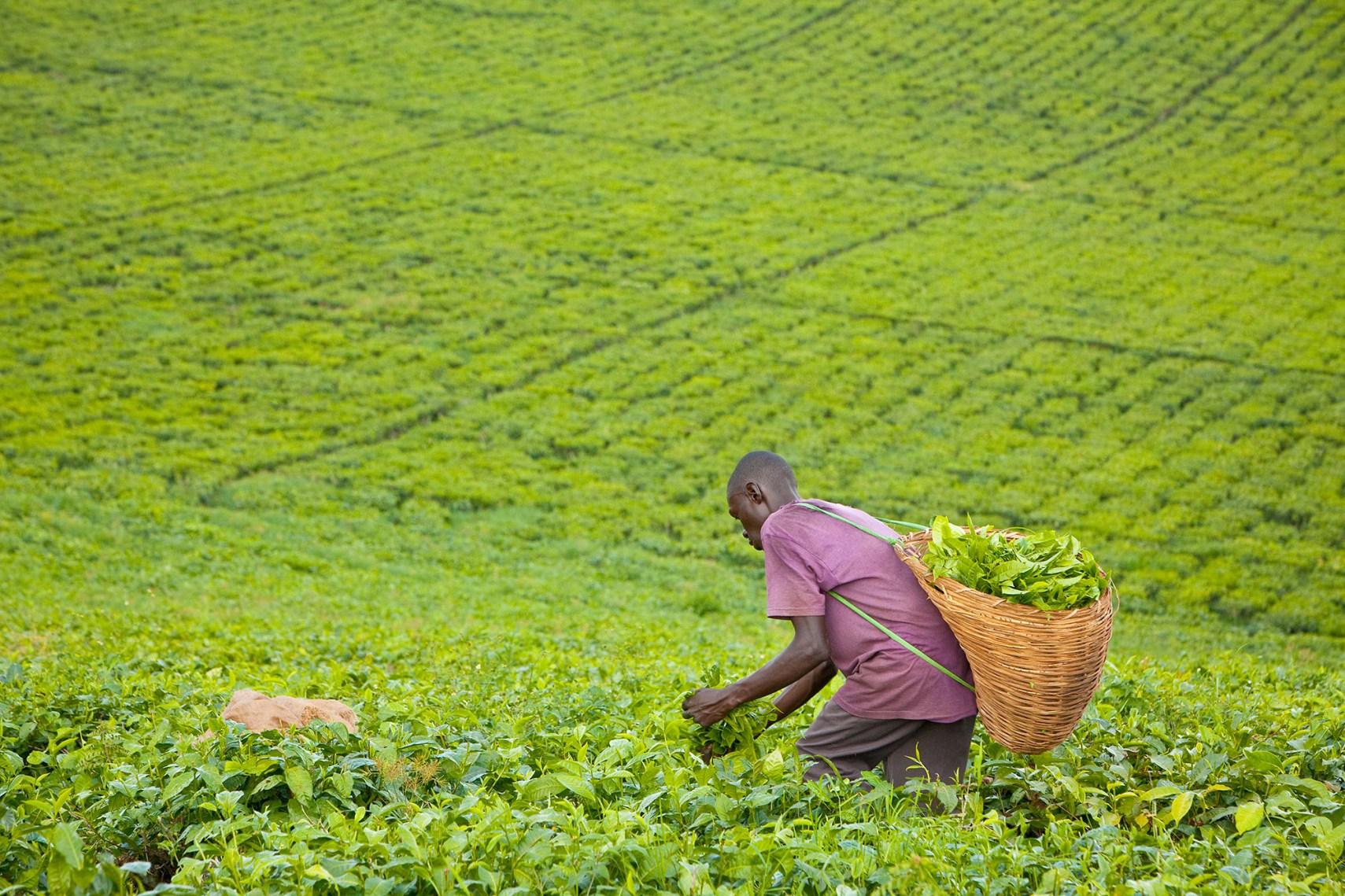 A worker picks tea in the fields of Fort Portal, Uganda.