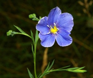 blue flax, common wildflower rocky mountains