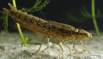 bugs dragonfly larva good